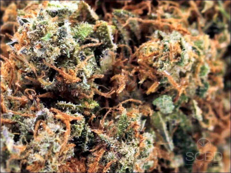 Fleurs de CBD - Blueberry Muffin - SCBD Lab zoom