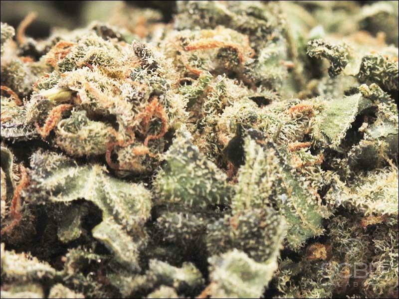 Fleurs de CBD - Harlequin - SCBD Lab zoom