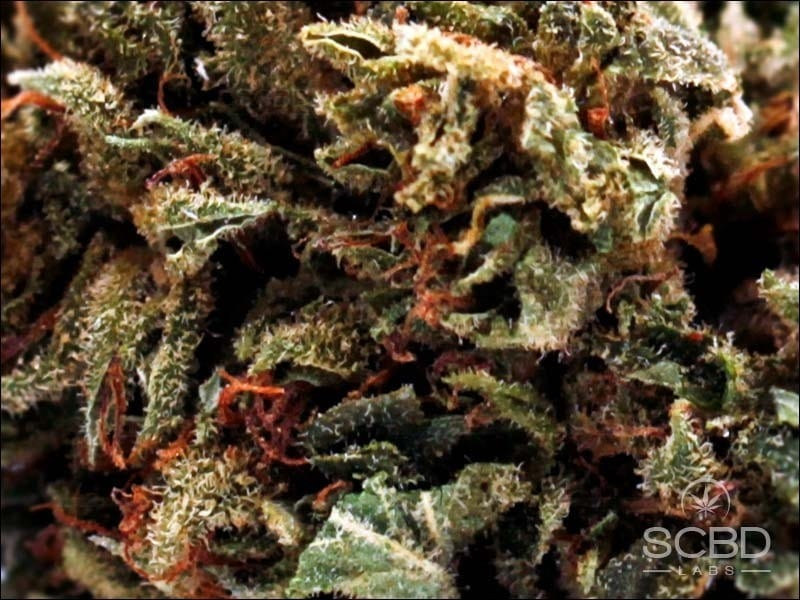 Fleurs de CBD - Strawberry Cheese - SCBD Lab zoom